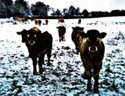 demon cows
